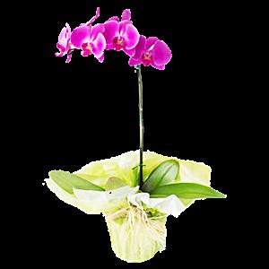 Orquidea Lilas no Embrulho Rustico
