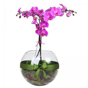 Orquídea Phalaenópsis Lilás