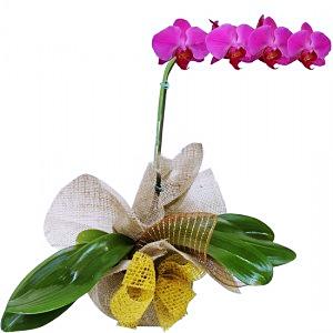 phalaenopsis rustica Lilas