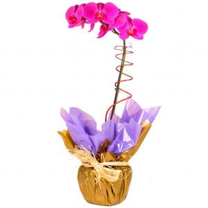 Phalaenópsis Lilás no Embrulho