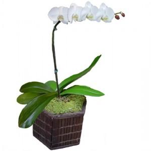 Orquidea Phalaenópsis Branca