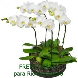 Conjunto de Phalaenópsis Brancas