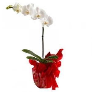 Phalaenópsis Branca no Embrulho