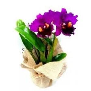 Orquídea Cattleya Lilás